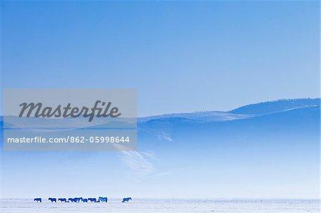 Mongolei, Ovorkhangai, Orkkhon Tal. Pferde in die winterliche Landschaft.