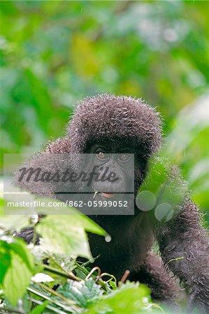 Gorille de montagne jeune curieusement approchant la caméra, groupe Dridou, Mt Gahinga, Parc National des volcans, Rwanda.