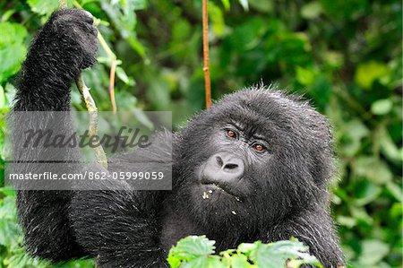 Gorille de montagne adultes tenant à la vigne, groupe Dridou, Mt Gahinga, Parc National des volcans, Rwanda.