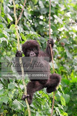 Gorille de montagne jeune balance sur la vigne, groupe Dridou, Mt Gahinga, Parc National des volcans, Rwanda.