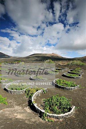 Vignobles traditionnels à La Geria, où les vins sont produits dans un sol de cendres volcaniques. Lanzarote, îles Canaries