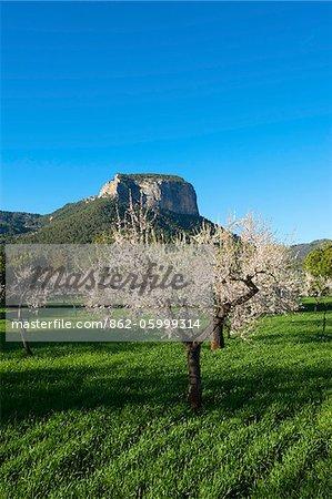 Almond Blossom, Serra de Tramuntana auf Mallorca, Baleares, Espagne