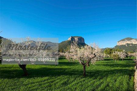 Mandelbäume blühen, Serra de Tramuntana Auf Mallorca, Balearen, Spanien
