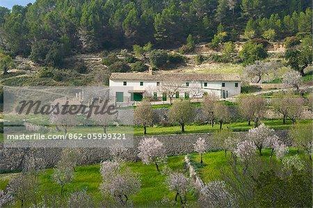 Mandelblüte in der Nähe Es Capdella, Mallorca, Balearen, Spanien