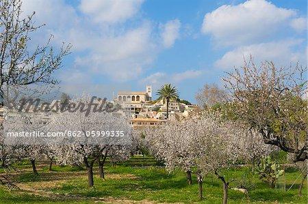 Mandelblüte in der Nähe von Selva, Mallorca, Balearen, Spanien