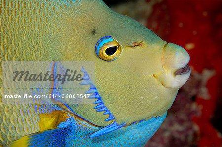 Closeup of Blue Angelfish