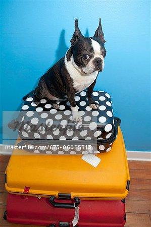 Chien assis sur des valises empilées
