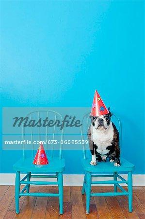 Boston Terrier sitzend auf blauen Stuhl tragen Partyhut