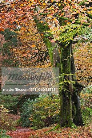 Deciduous woodland with beautiful autumn colours, Grasmere, Lake District, Cumbria, England, United Kingdom, Europe