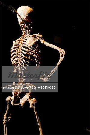 Plastinated Human Skeleton