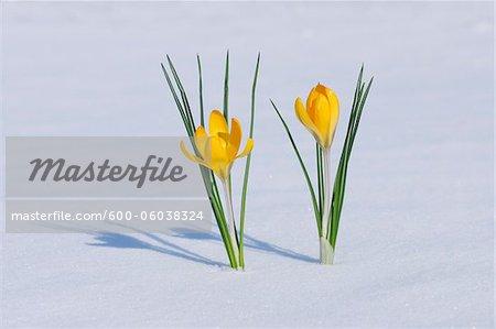 Snow Crocuses in Snow, Franconia, Bavaria, Germany