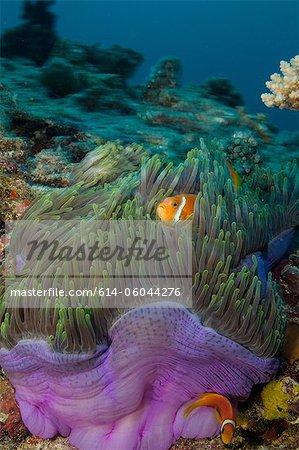 Anemonefish and Anemone