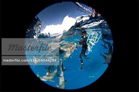 Frénésie de requins de récifs des Caraïbes