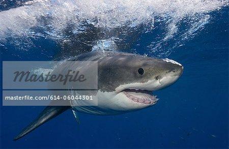 Great White Shark, Mexico.