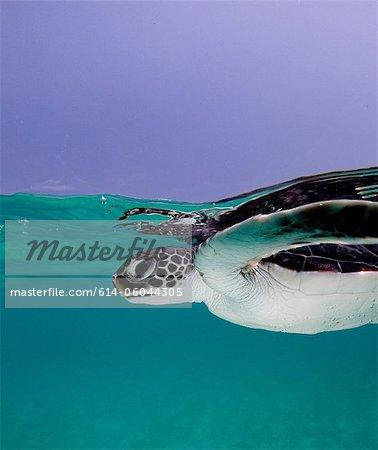 Juvenile Green Sea Turtle