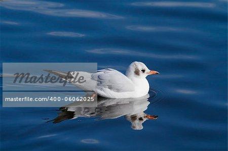 A beautiful black headed swimming on the lake