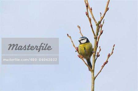 Blue Tit (Parus caeruleus) perched in a tree