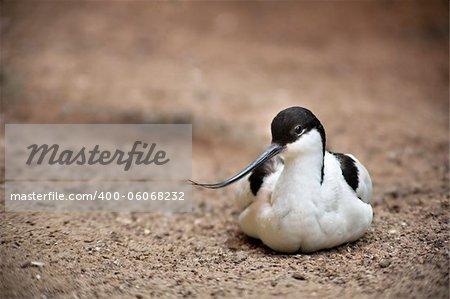 Recurvirostra avosetta image taken on a unfocused background
