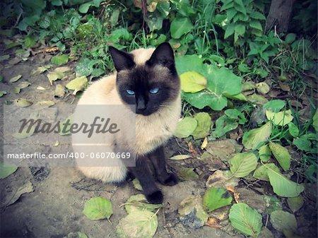 Siamese cat outdoor