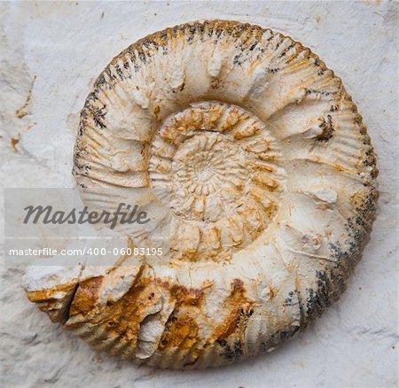fossilised ammonoids (Ammonoidea)