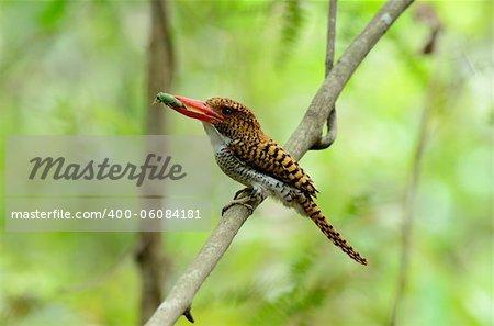 beautiful female banded kingfisher (Lacedo pulchella)