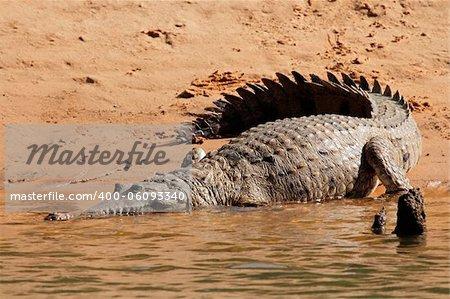 Large freshwater crocodile (Crocodylus johnstoni), Kakadu National Park, Northern Territory, Australia