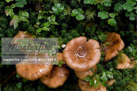 Mushrooms, Altenmarkt-Zauchensee, Salzburger Land, Austria