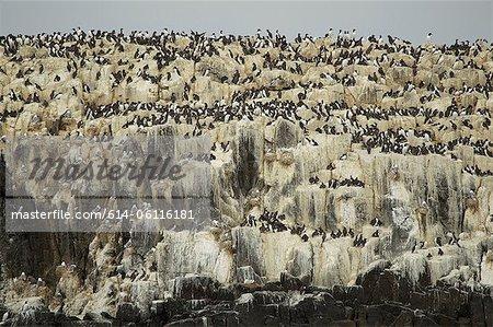 Guillemots à miroir sur les rochers des falaises, îles Farne. Northumberland, Angleterre, RU