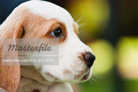 Chiots Beagle, vue latérale