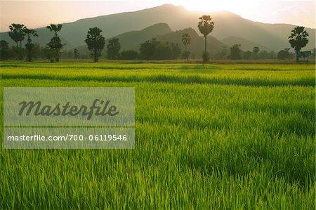 Rice Fields, Sukhothai Province, Thailand
