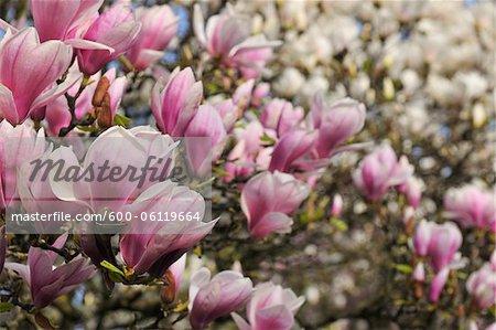 Magnolia, Aschaffenburg, Bavaria, Germany