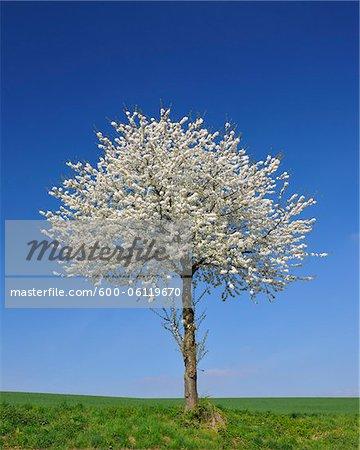 Cherry Tree in Bloom, Wenigumstadt, Aschaffenburg, Franconia, Bavaria, Germany