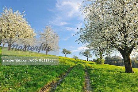 Kirsche Bäume und Wiese, Baden-Württemberg, Deutschland
