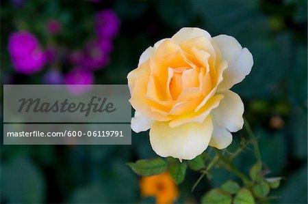Gros plan de Rose, Salzbourg, Autriche