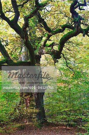 Chêne, Sababurg, Rheinhardswald, District de Kassel, Hesse, Allemagne
