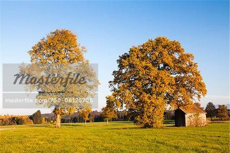 Linde und Eiche durch kleine Hütte im Herbst, Oberbayern, Deutschland