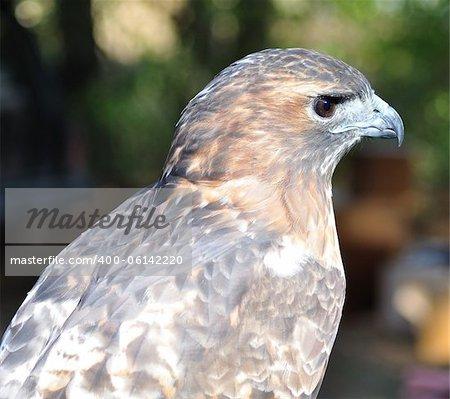 a Hawk , close up