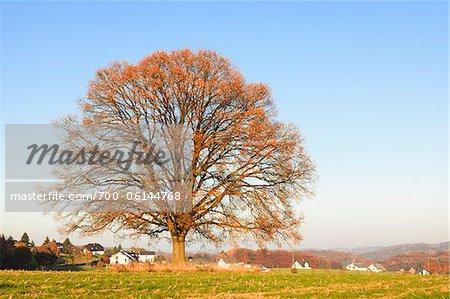 Chêne en automne, Rhénanie du Nord-Westphalie, Allemagne