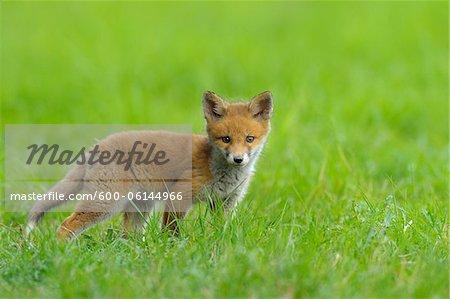 Red Fox Kit, Hesse, Germany