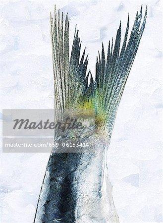 Sardine tail fin (close up)