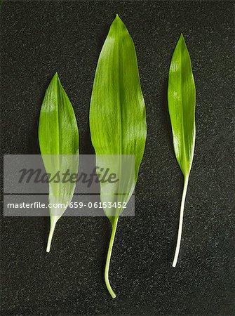 Drei Blätter in frischen Bärlauch (Wilder Knoblauch)