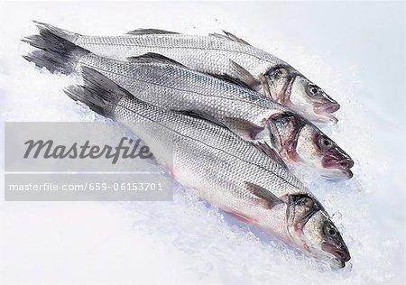 Three fresh sea bass on ice