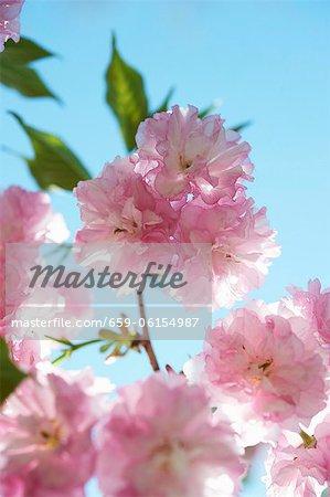 Kwanzan fleurs de cerisier ; Gros plan ; Ciel bleu