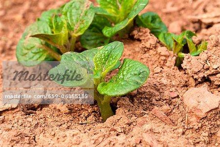Red Bliss Potato Plants in Garden