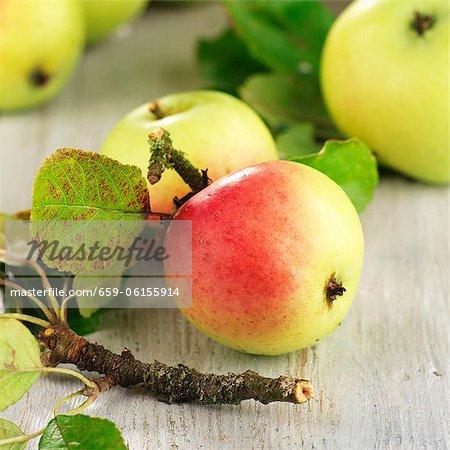 Pommes Elstar biologiques avec des feuilles et des brindilles