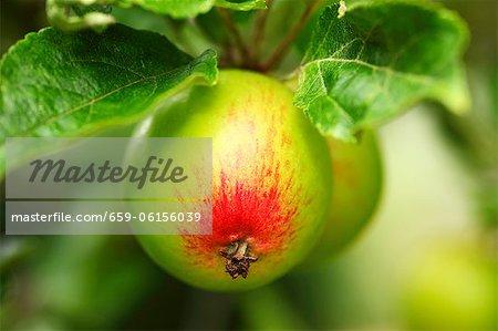 Pommes Cox sur un arbre