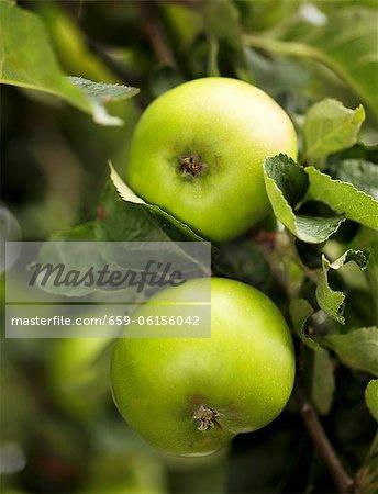Pommes vertes dans un arbre