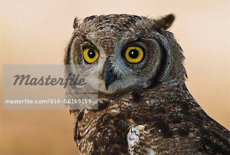 Spotted Eagle Owl, Kgalagadi Transfrontier Park, Afrique