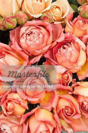 Peach roses colorées
