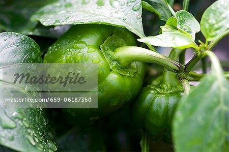 Green pepper on plant
